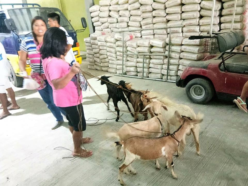 DSWD begins distributing goats for SLP beneficiaries